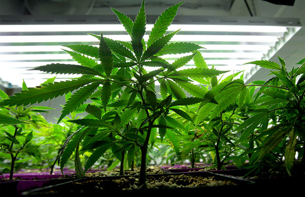 Photo of 5 Things to Avoid While Growing Cannabis in Your Garden